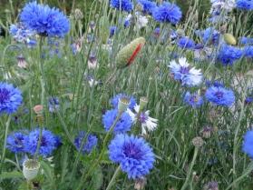Petites fleurs des champs