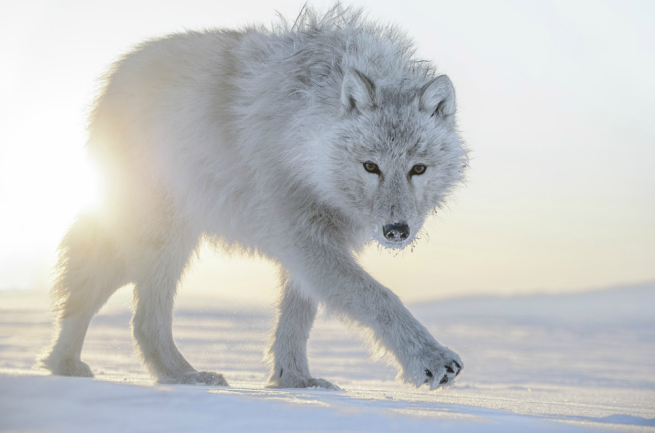 Photo de Vincent Munier Loup blanc